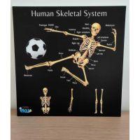 Portable Poster Board - Human Skeleton
