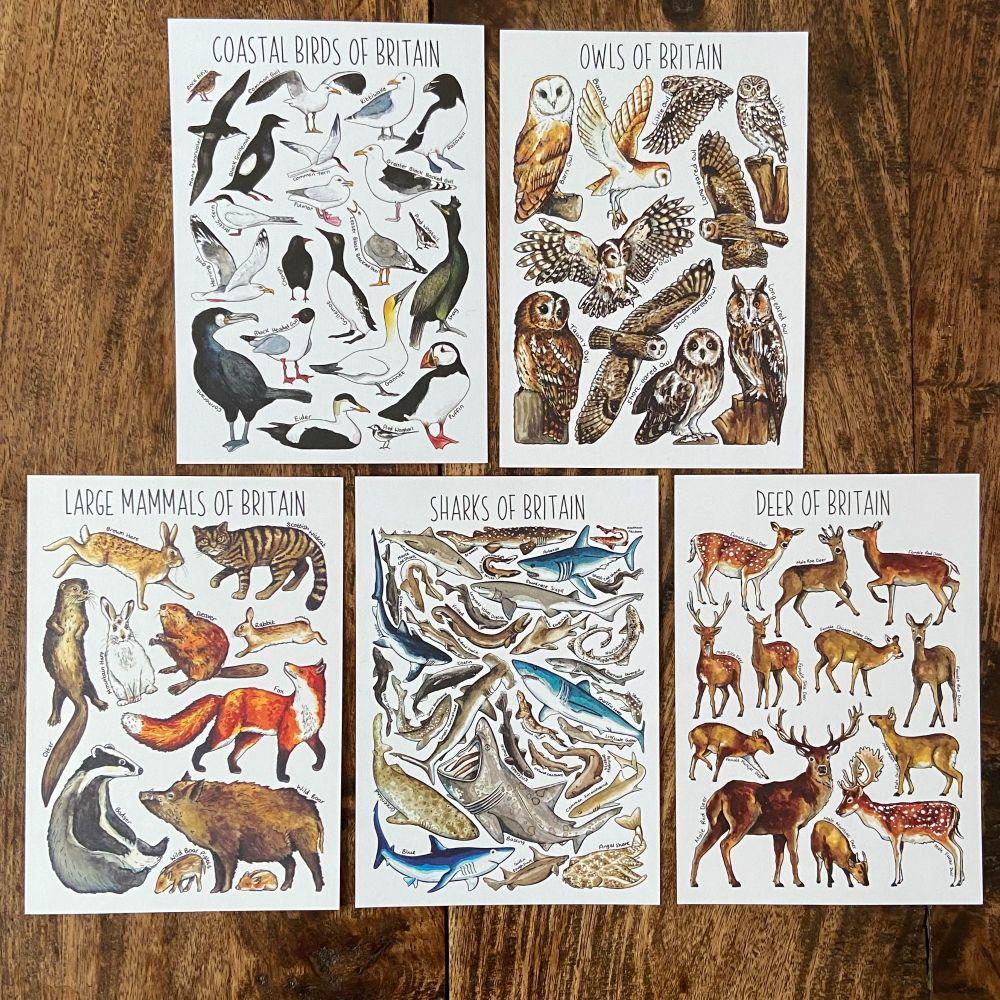 British Widlife Flashcards - large creatures  - Pack of 5