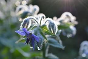 Borage with dew November