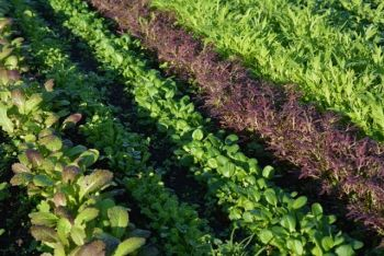 web 374 KB Salad rows Nov 2014 Walled Garden