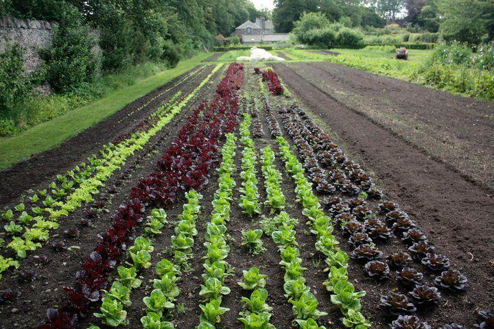 lettuce rows 132KB