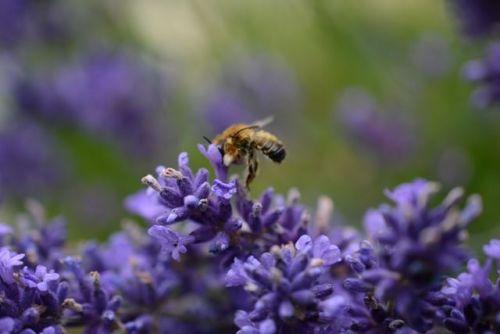 web bees lavender