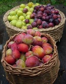 Fruit Plums