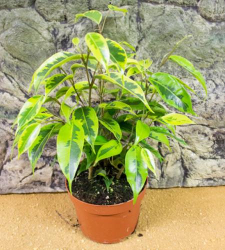 Live plant ficus benjami