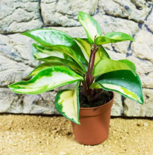 Live plant Hoya tricolour 5cm pot
