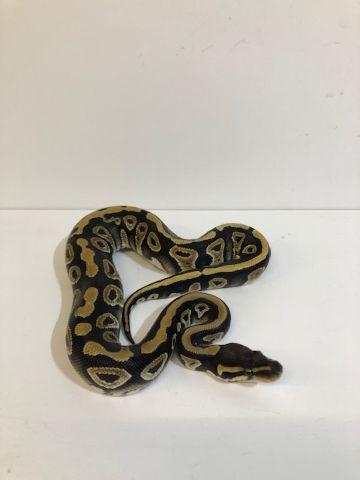 Baby Mojave Royal Python