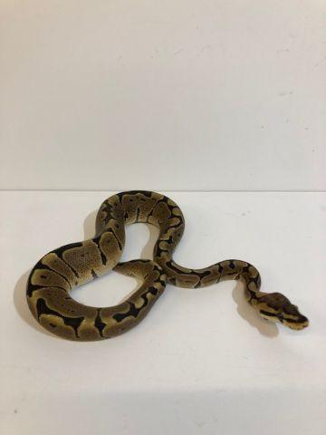 Baby Woma Royal Python