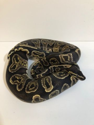 Adult GHI Royal Python