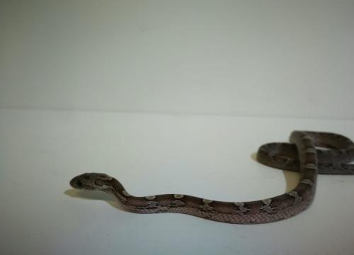 Baby Granite Corn snake