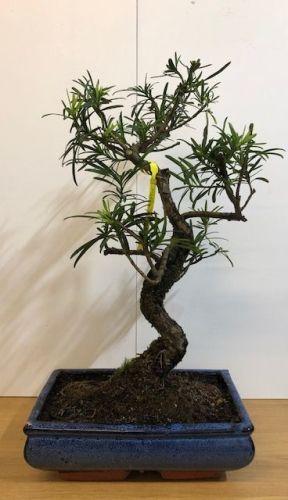 Buddhist Pine (Podocarpus)
