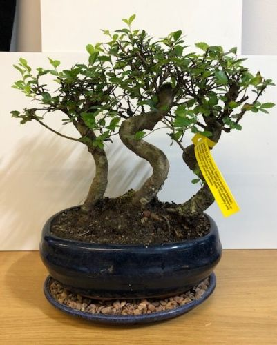 Triple trunk chinese elm (zelkova)