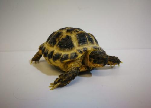 Baby Horsfield Tortoise