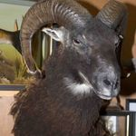 Soay Sheep taken by Greg Schubert, taxidermy by Adrian Edwards
