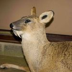 World class CWD, taxidermy by Adrian Edwards