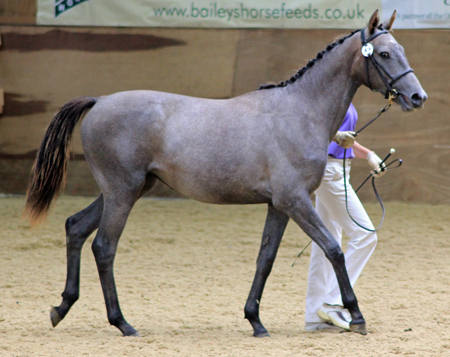 Shinglehall Senorita at BEF Futurity