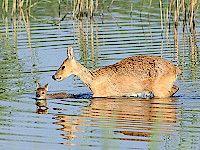 deer_water