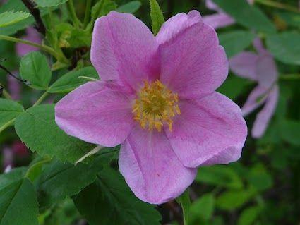 wild_rose-6-2012