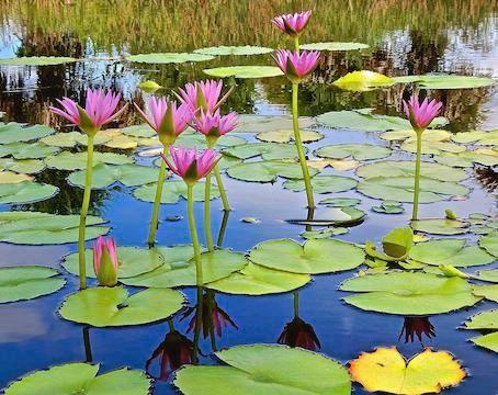 beautiful-water-lily-pond-joe-wyman