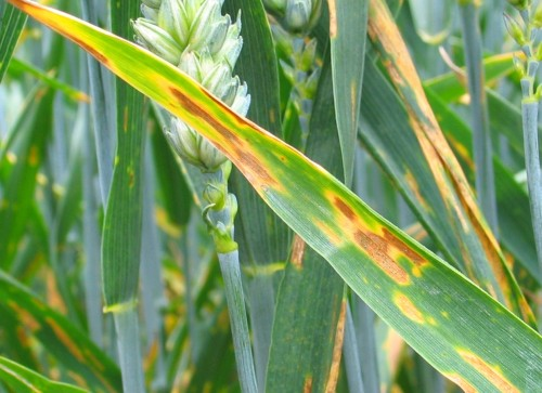 take a protectant approach to keeping diseases such as septoria tritici und