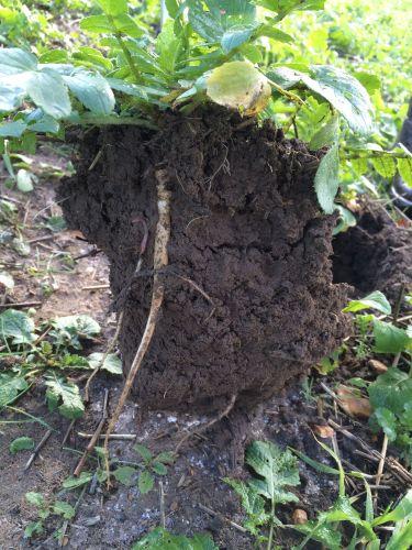 Cover Crop -fodder radish