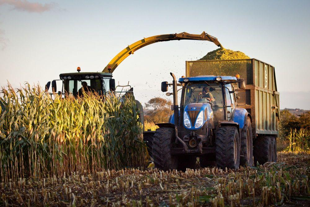 Harvesting Maize