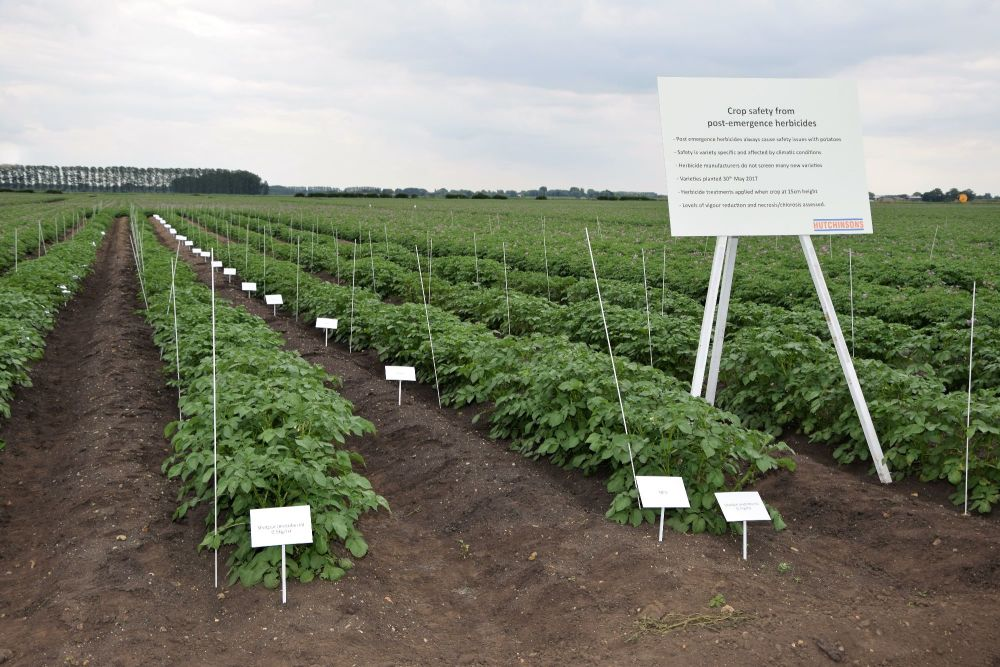 Fenland potato trials
