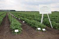 Fenland potato trials