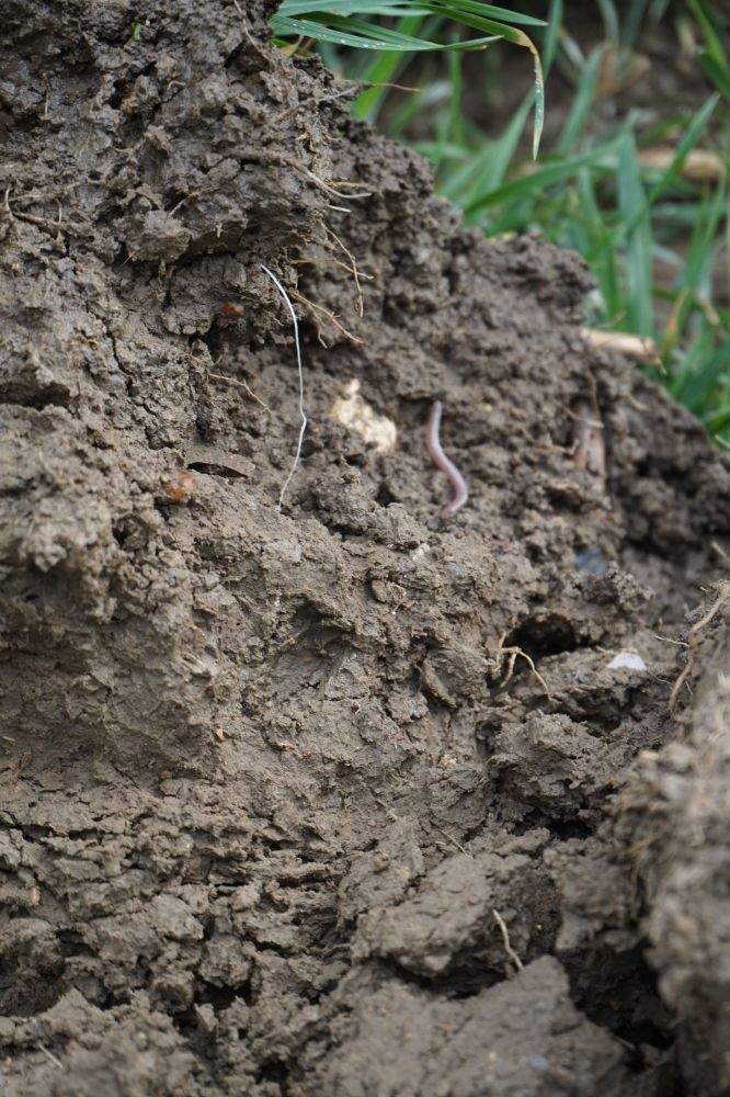 Healthy Soils showing worms and roots 2JPG