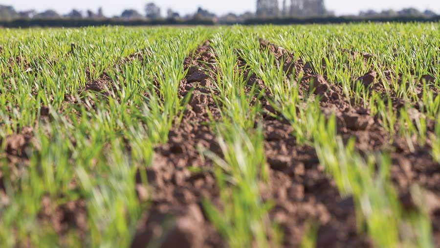211118-Gary-Naylor-wheat-emergence