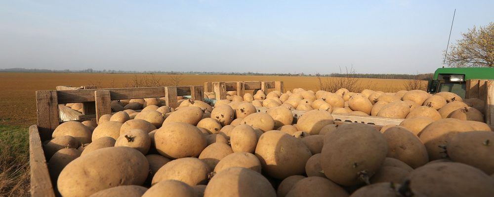 Scriv-seed-potato-1000x400 CPM