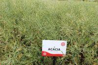 Acacia WOSR