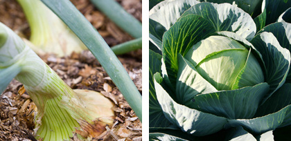 onion and cabbage (2)