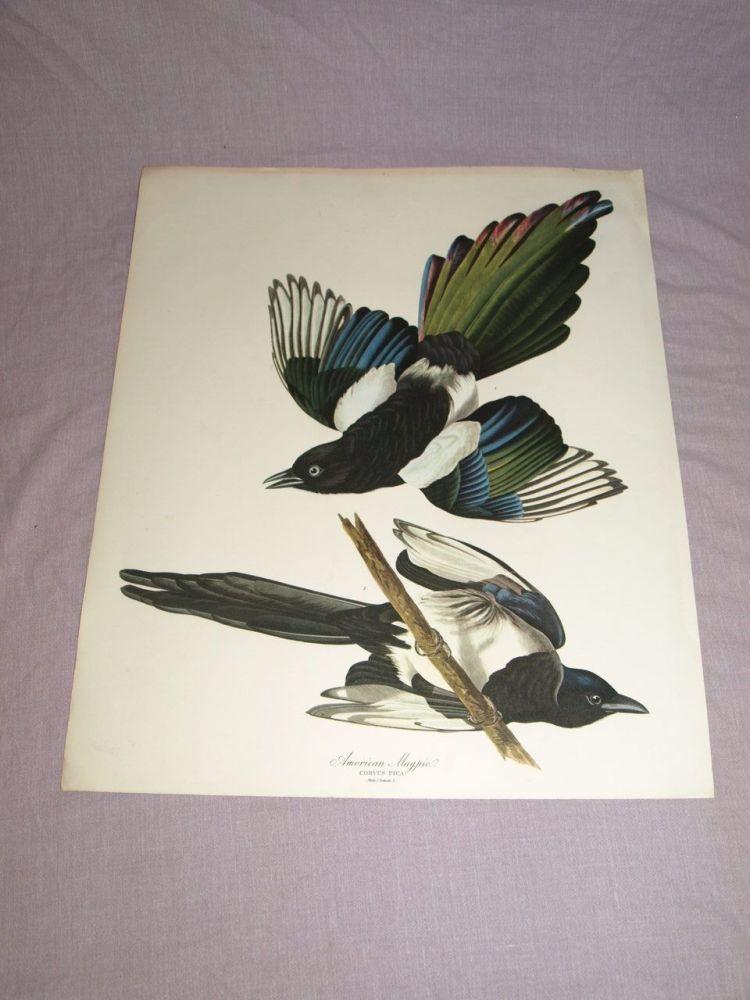 American Magpie Bird Print, John Audubon.