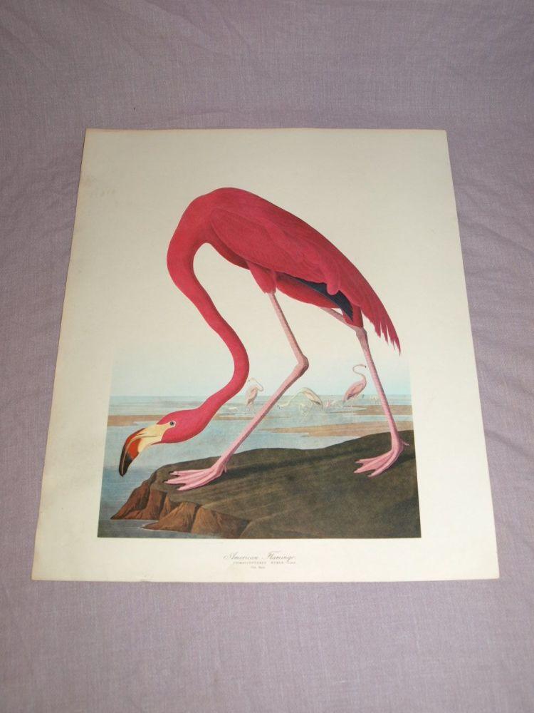 American Flamingo Bird Print, John Audubon.