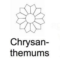 <!--060-->Chrysanthemums