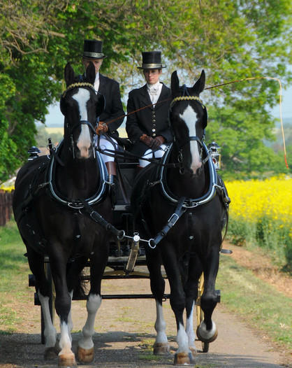 Stunning Black Wedding Horses