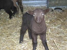 Manx Lamb