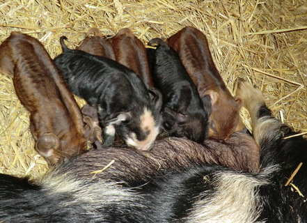 week old kune piglets 2012