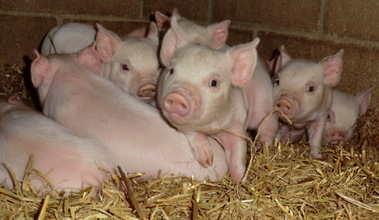 CIMG1574 mw piglets