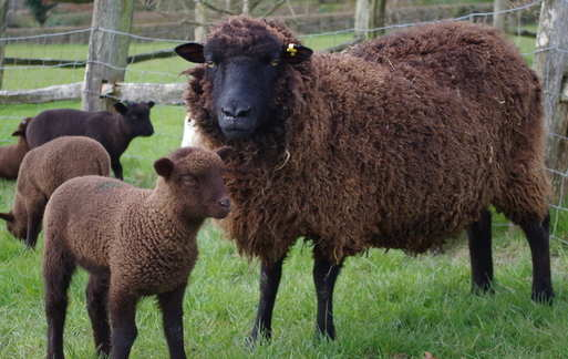 Brown Ewe & Lamb