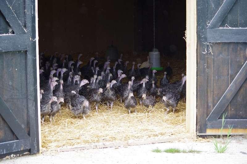102 Turkeys FR 1st time