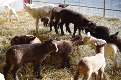 lambs 2015 166