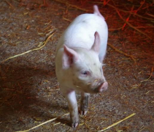 lopxmw piglet 2015 629