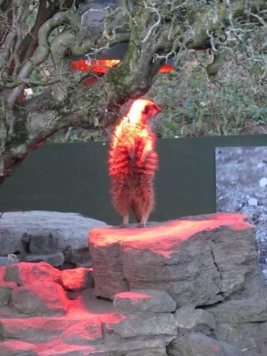 Red Meercat
