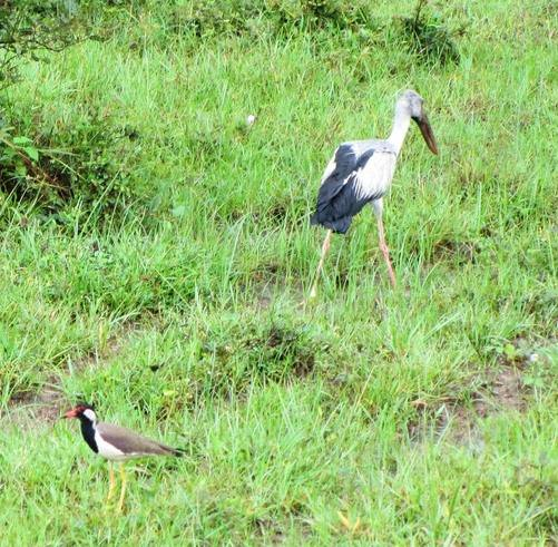 Openbill Stork and red wattled lapwing