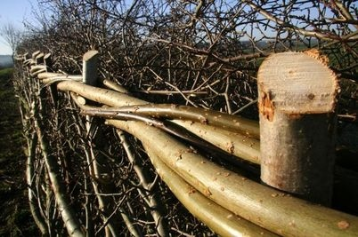 Hedge laying_bindings close up