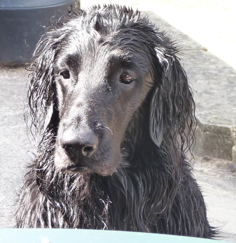 Flat Coat portrait