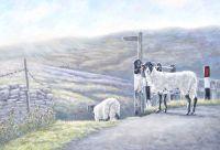 Weardale Sheep