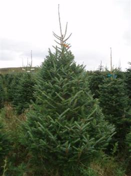Potted Fraser Fir (Low Drop) 5ft