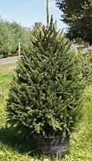 Potted Norway Spruce 6 ft